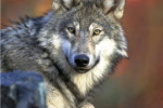 IMAGE: Gray wolf (Gary Kramer / U.S. Fish and Wildlife Service )